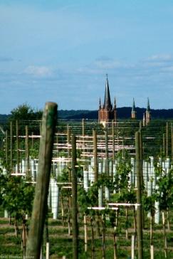 junger-wein-am-wachtelberg-16