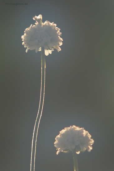 Grasnelke