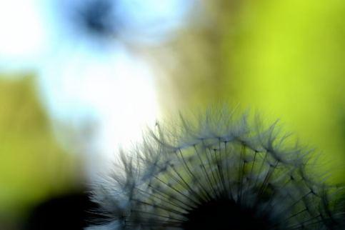 pusteblume 03