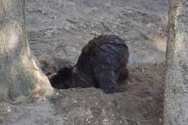 Braunbär beim graben